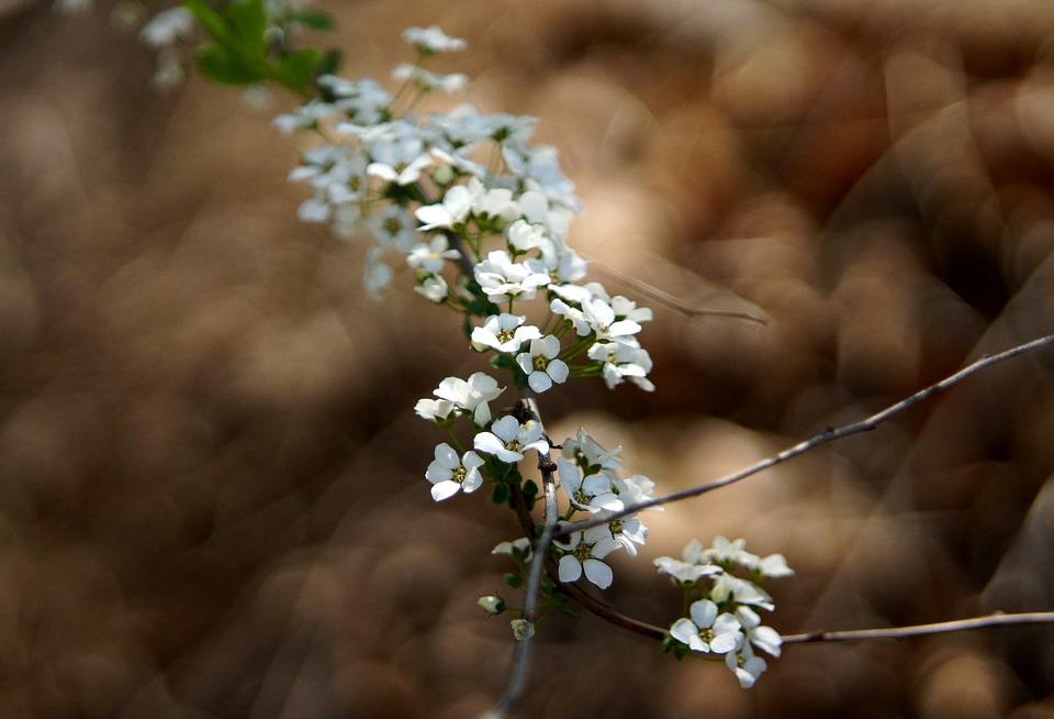Flowers, Spring, Hagi Flower