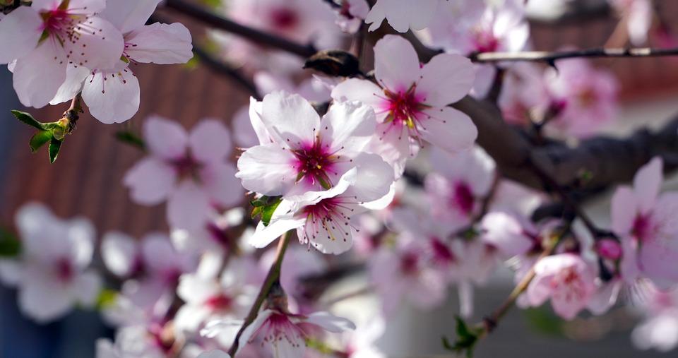 Almond Tree, Flowers, Spring, Branch, Petals, Blossom