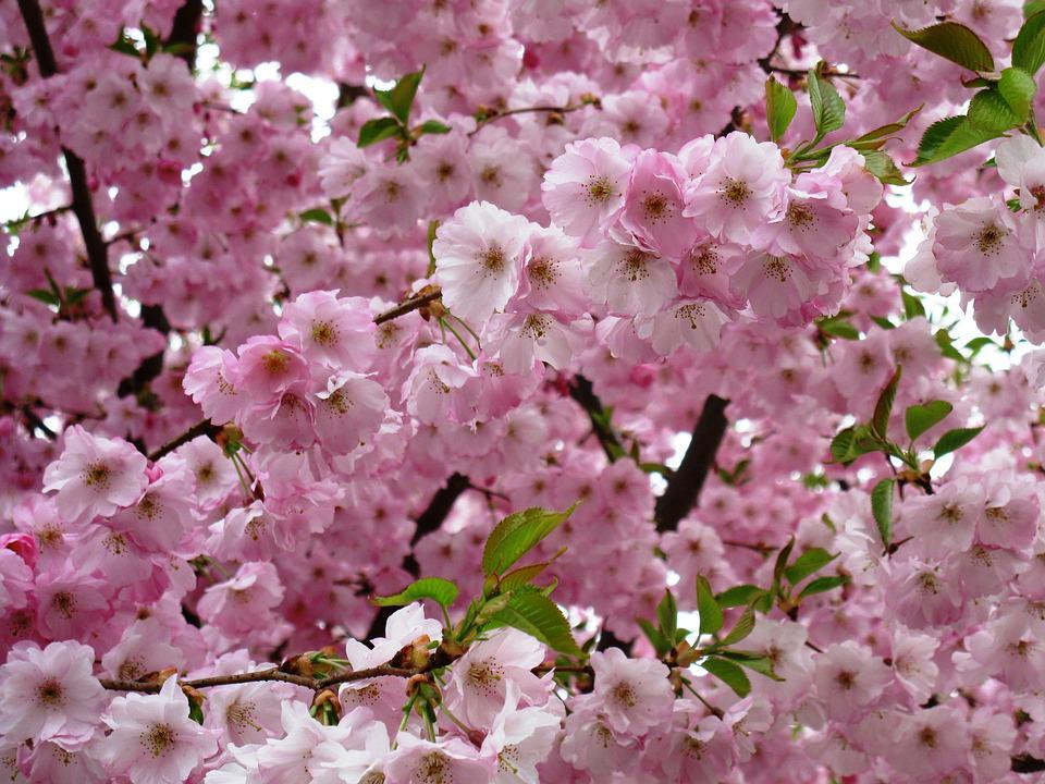 Flowers, Pink, Spring, Plant