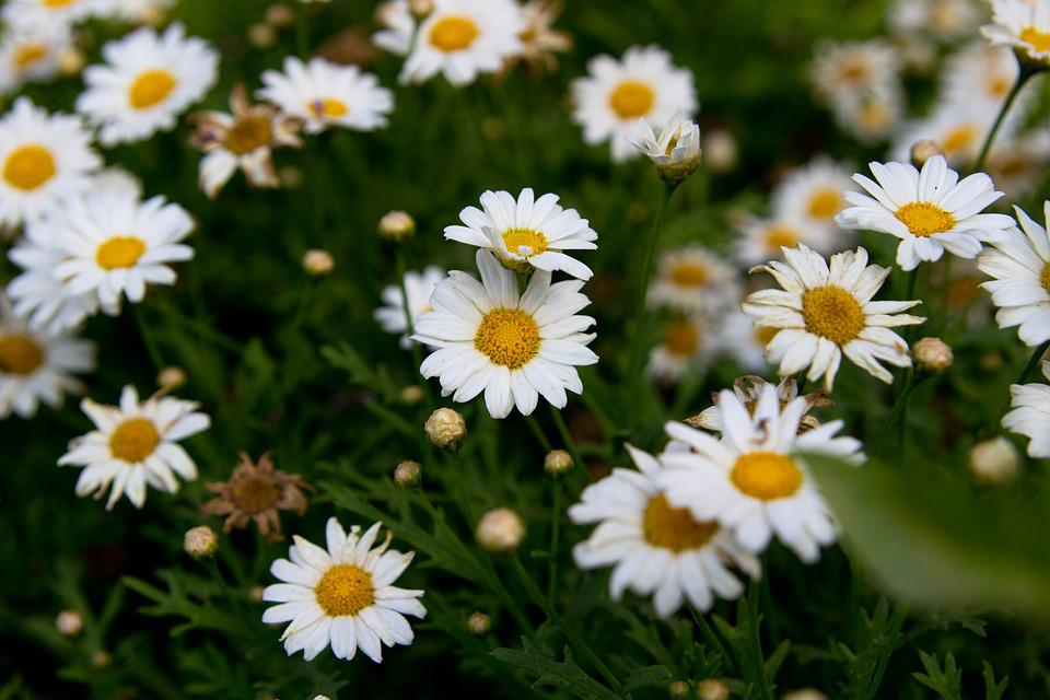 Flowers, Chamomile, Nature, Plants, Summer, Spring