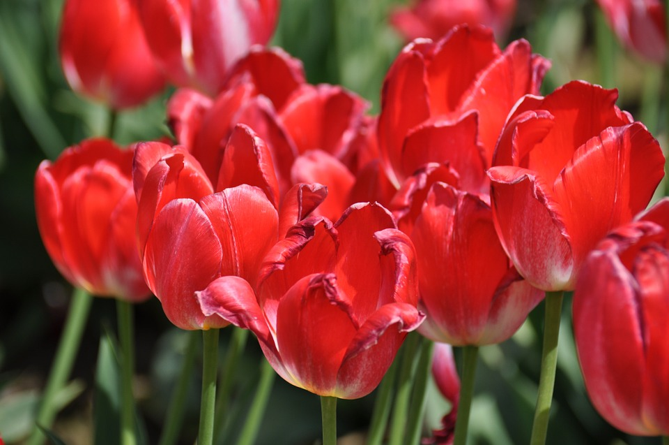 Tulips, Tulip Farm, Flowers, Spring, Vivid, Bloom, Red