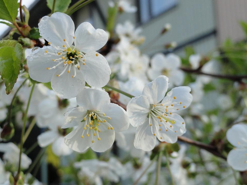 Spring, Sakura, Cherry Tree, Bloom, Blossom, Flowers
