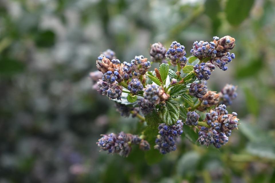 Spring, Garden, Shrubs, Flowers, Céanothe, Violet