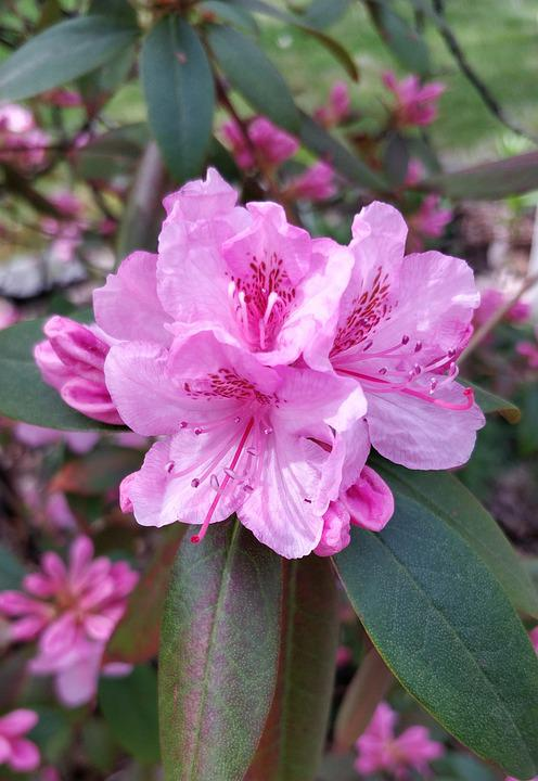 Pink, Summer, Spring, Flowers, Nature, Blossom, Bloom