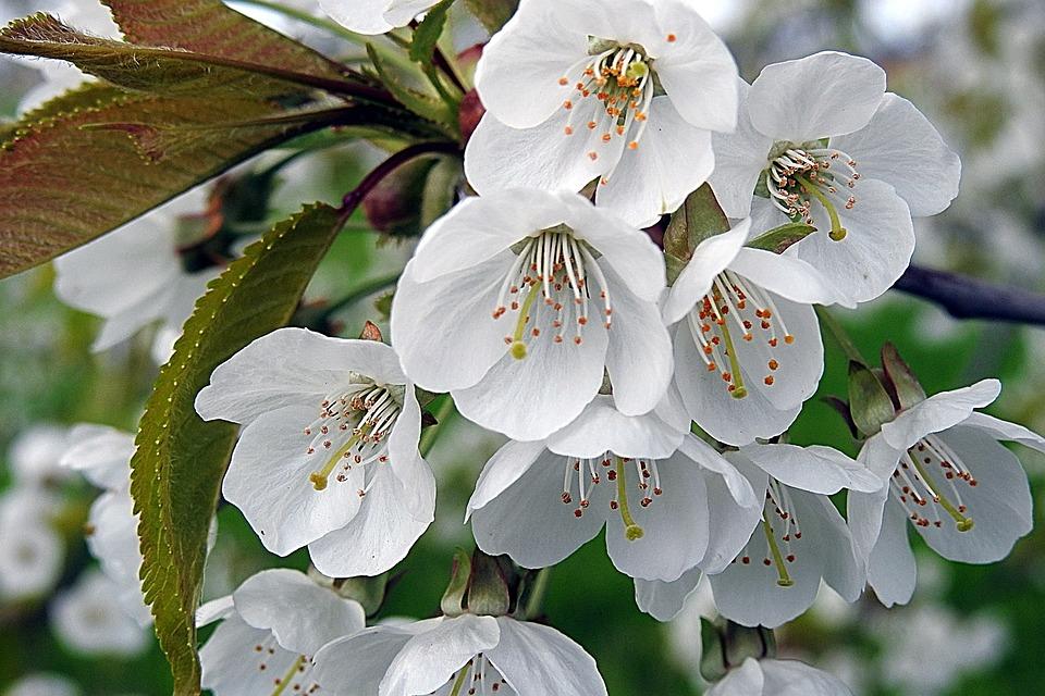 Cherry Blossom, Tree Blossoms, Flowers, White, Spring