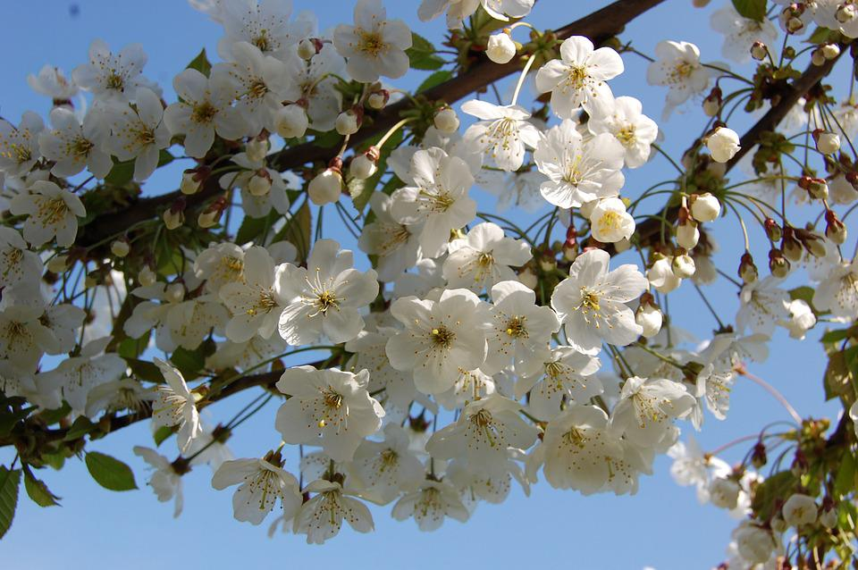Flowers, Cherry, Spring, Tree, Nature, White, Branch