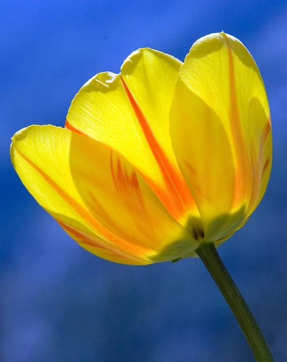 Tulip, Yellow, Spring, Flowers