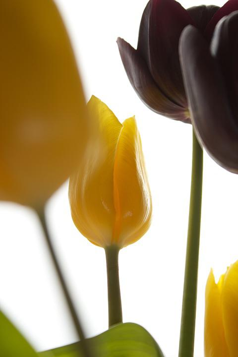 Tulips, Flowers, Nature, Floral, Spring, Bouquet