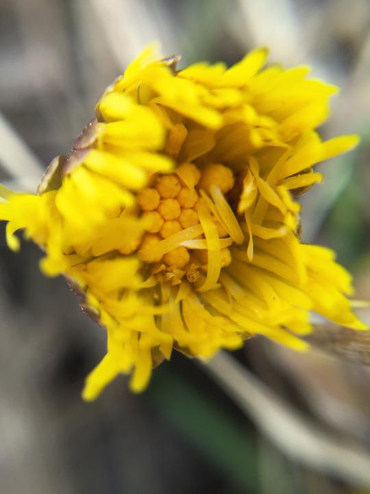 Tussilago, Flowers, Spring, Our Characters, Closeup