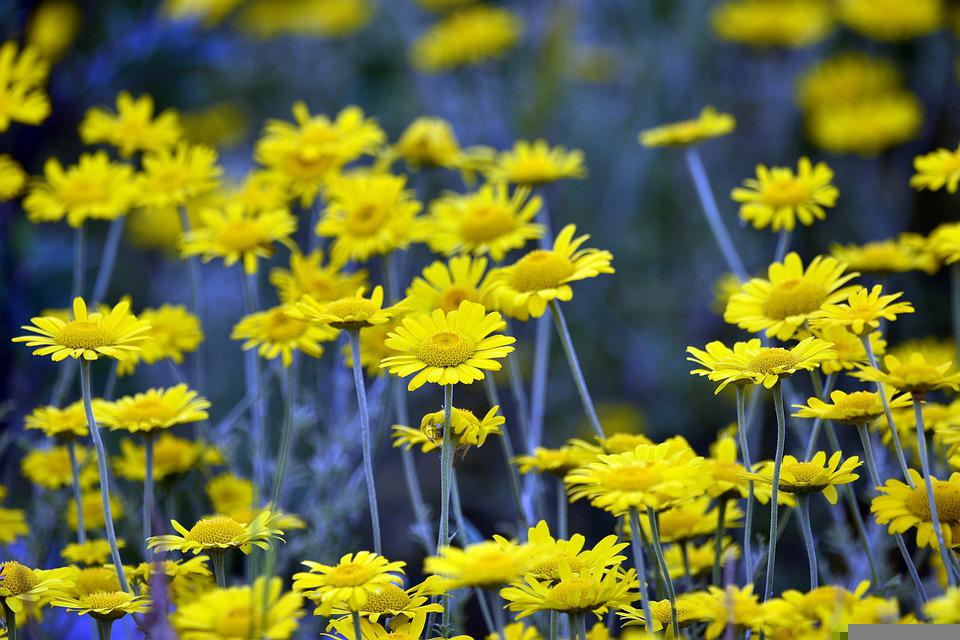 Flower, Flowers, Meadow, Spring, Summer, Yellow, Nature