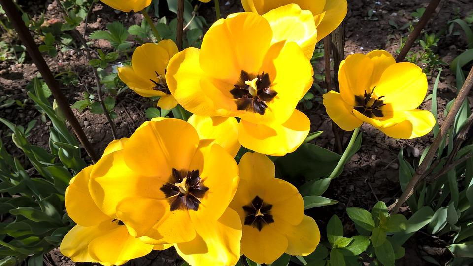 Tulips, Spring, Yellow, Flowers
