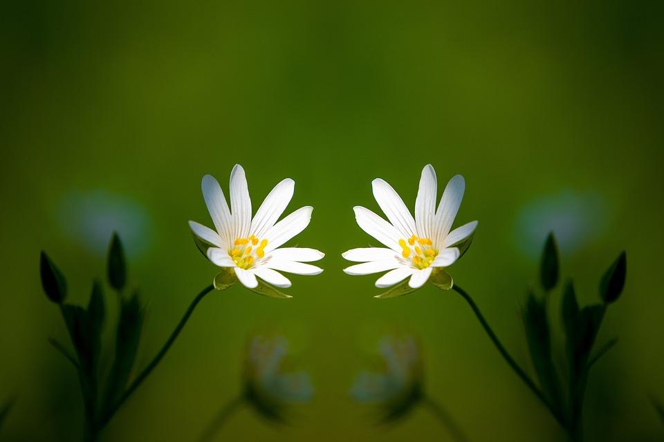 Stitchwort, Flowers, Plant, Petals, Stellaria Hostea