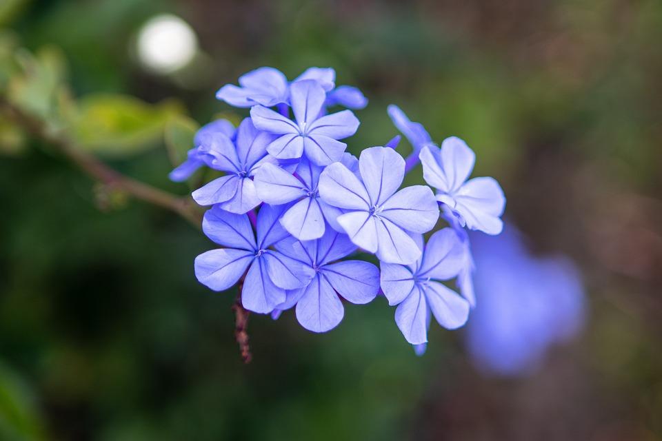 Flowers, Blue, Spring, Nature, Bloom, Plant, Summer