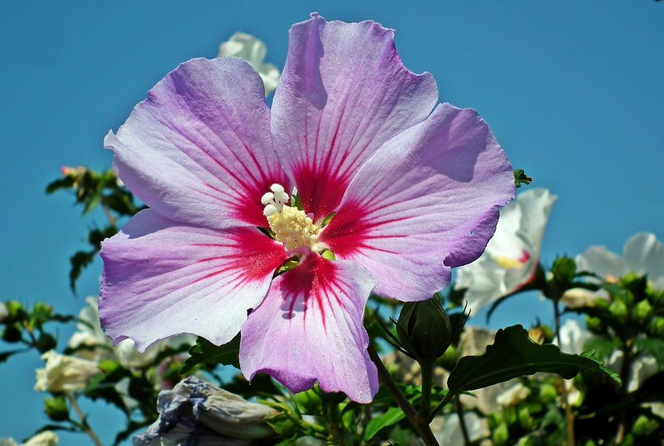 Hibiscus, Flowers, Hibiscus Syriacus, Summer, Garden