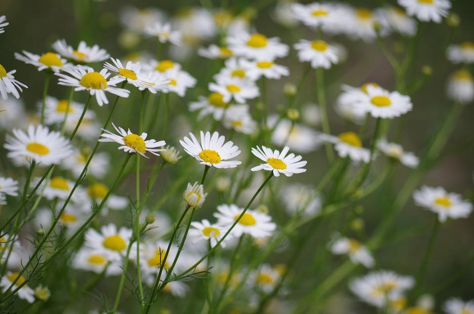 Flowers, Margarétky, Marigolds, Garden, Summer, Flower