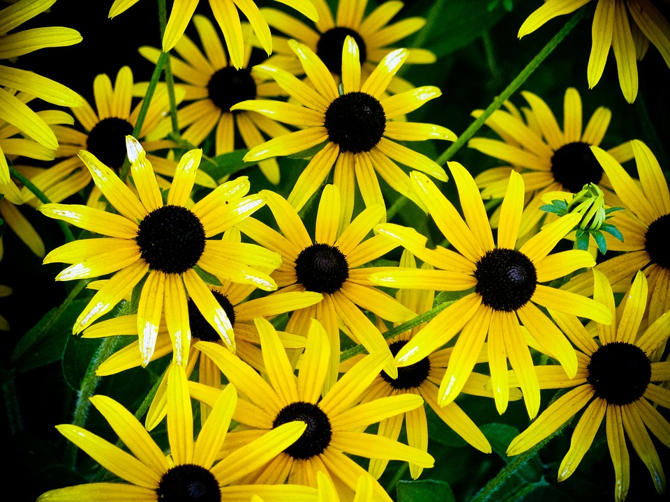 Cone Flowers, Yellow, Flowers, Nature, Summer, Plants
