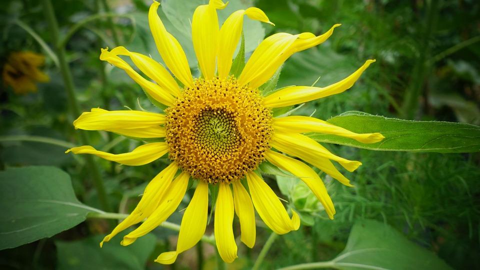 Sunflower, Flowers, Yellow