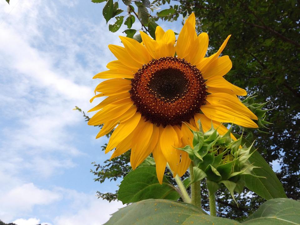 Flowers, Sunflower, Yellow