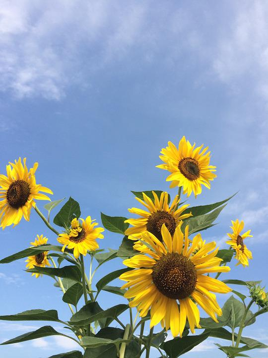 Sunflower, Flowers, Yellow