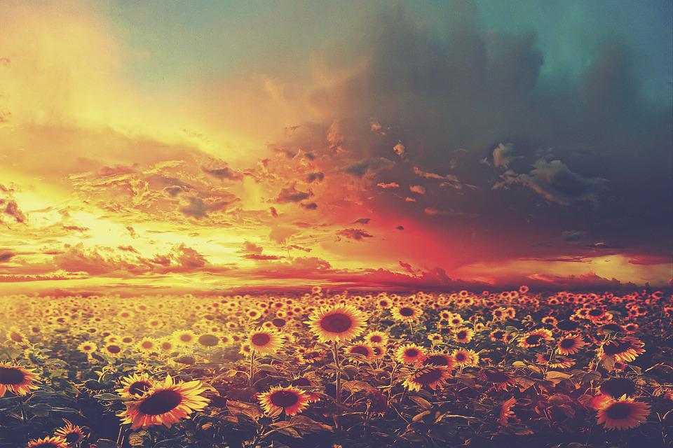 Sunflowers, Meadow, Field, Flowers, Petals, Flora