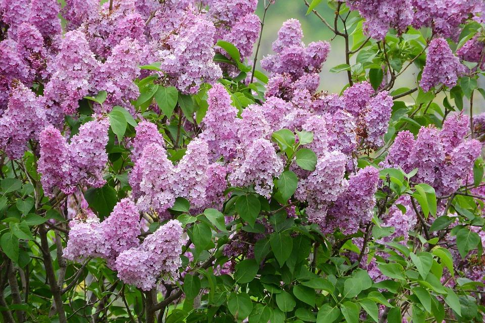Free photo flowers syringa purple flowers bush lilac max pixel lilac syringa flowers bush purple flowers mightylinksfo