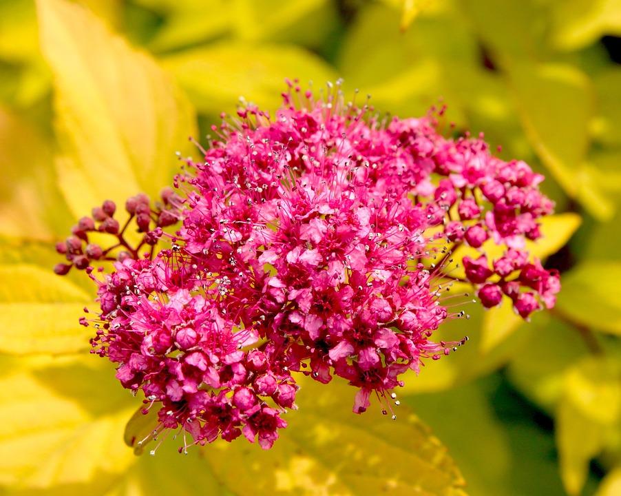 Flowers, Flowering, Tawułka, Tawuła, Spring