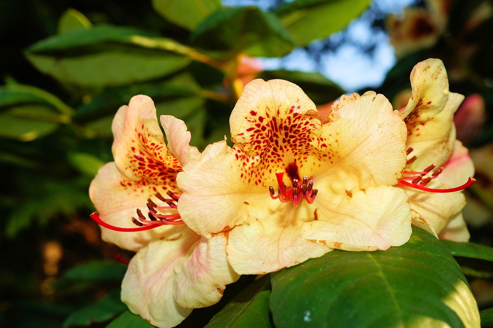 Rhododendrons, Flowers, Bush, Tender, Frühlingsanfang