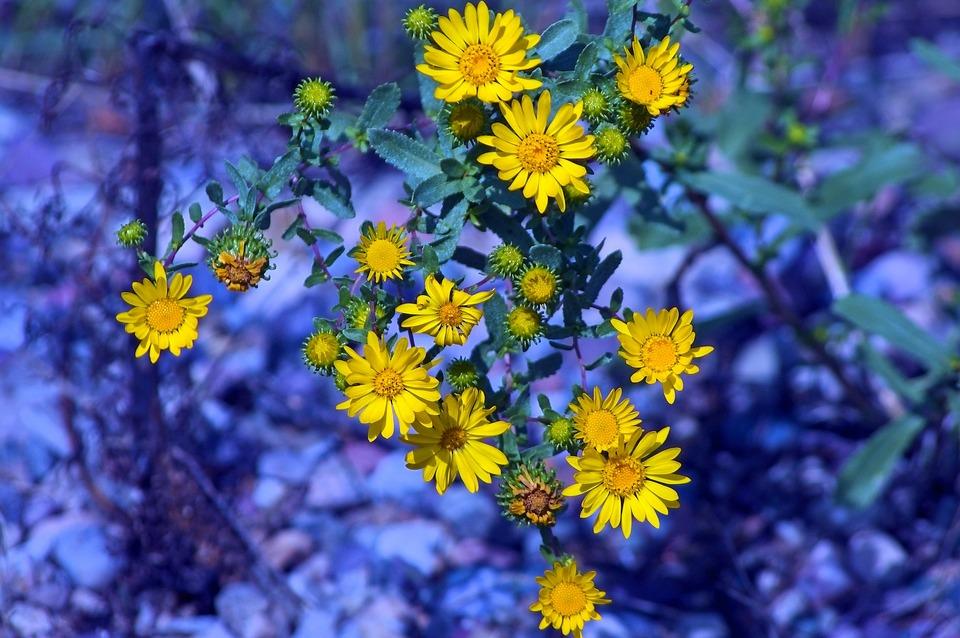 Tetons Yellow Wildflowers, Nature, Flowers, Bloom