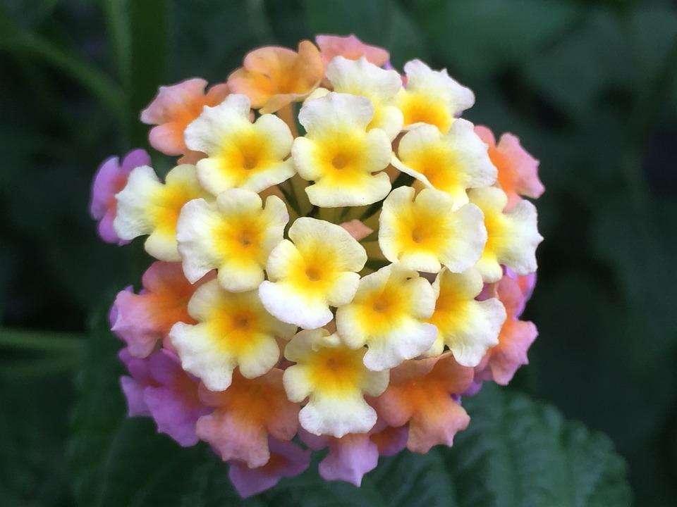 Lantana Camara, Tickberry, Big-sage, Flowers