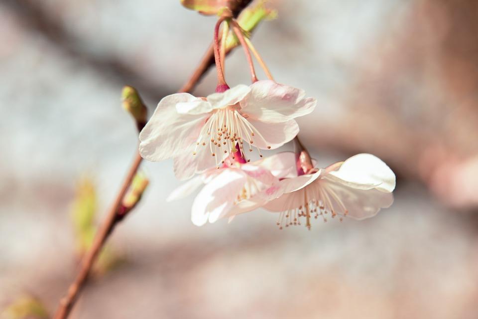 Cherry Blossom, Flowers, Tree, Bloom, Blossom