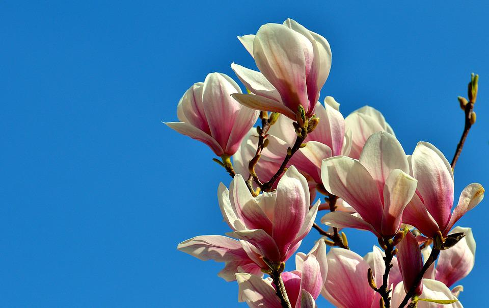Magnolia, Spring, Flowers, Tree, Full Bloom, Nature
