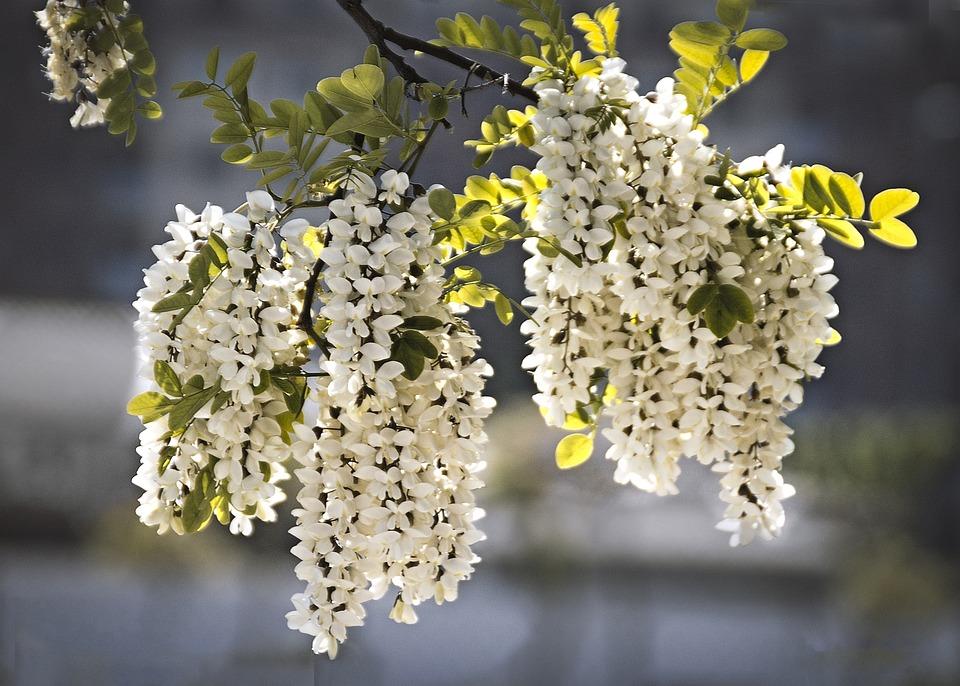 Free photo flowers tree perfume acacia spring nature branch max pixel flowers perfume acacia nature tree branch spring mightylinksfo