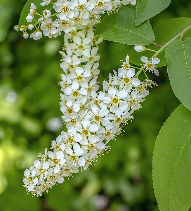 Bird-cherry-blossom, Wildflower, Flowers, Tree, Spring