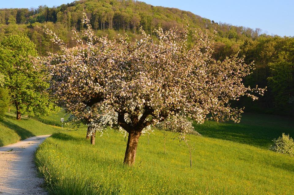 Cherry, Spring, Flowers, Cherry Blossoms, White, Tree