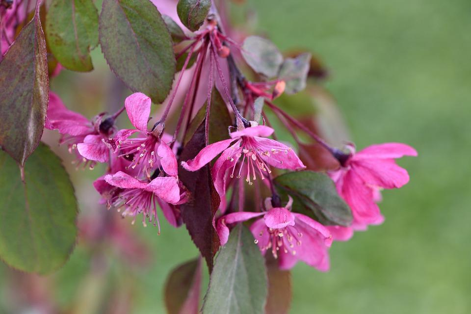 Trunk, Ornamental Tree, Ornamental Plant, Flowers, Pink