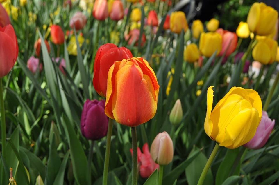 Tulips, Flowers, Tulip, Flower, Perennial, Holland