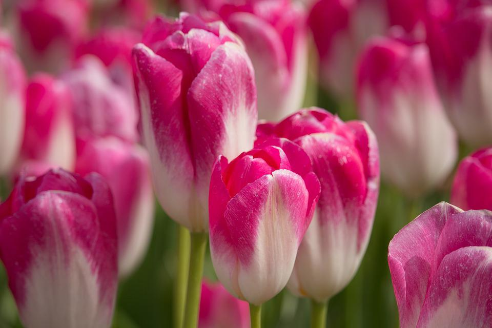 Tulips, Holland, Tulip, Flowers, Spring, Netherlands