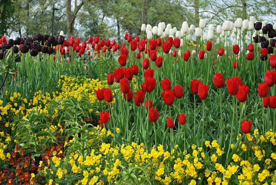 Flowers, Tulips, Red Flowers, Yellow Flowers