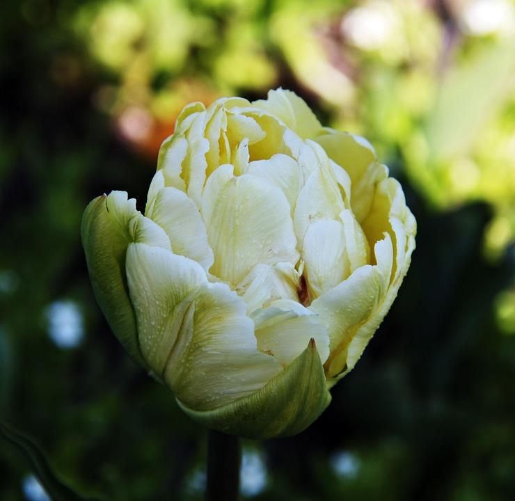Tulips, Yellow, Flowers, Spring