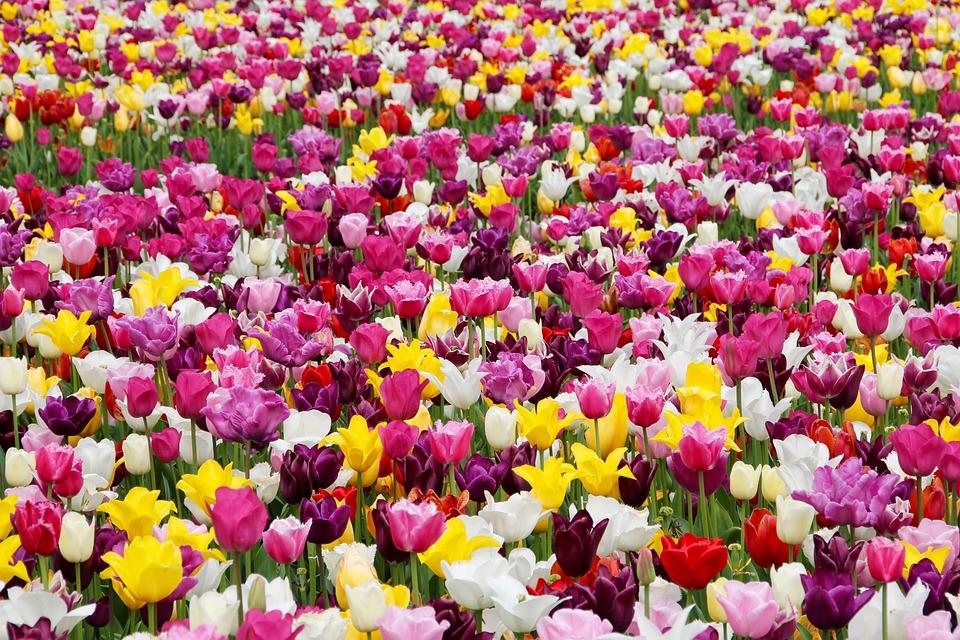 Tulips, Flowers, Tulip Field, Tulpenbluete