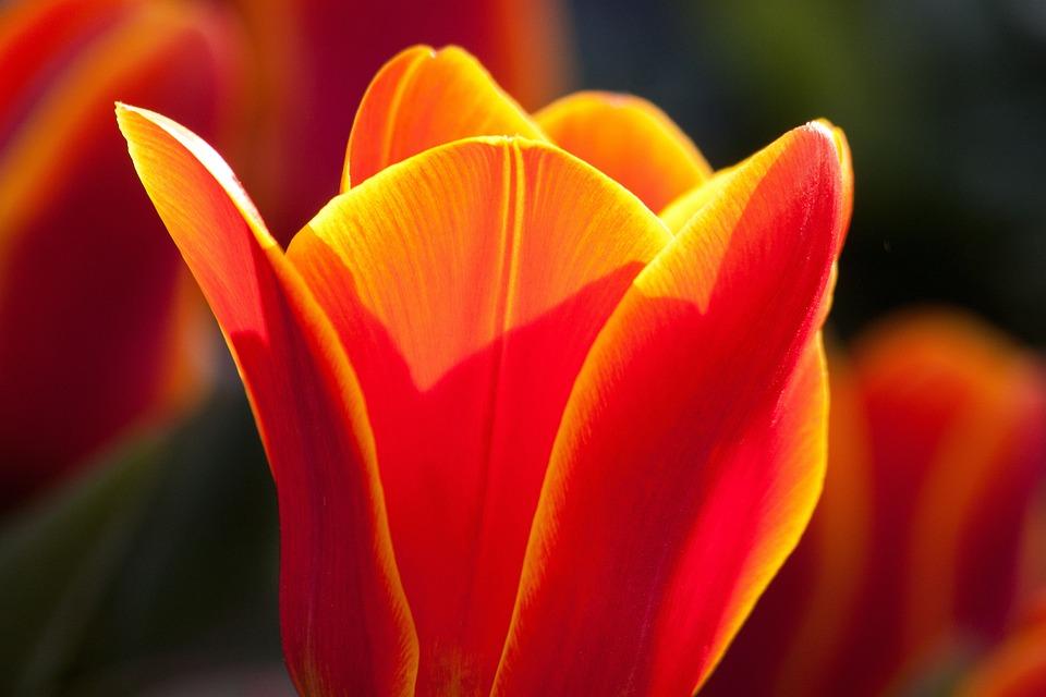 Tulip, Lily, Nature, Flowers, Tulips, Schnittblume
