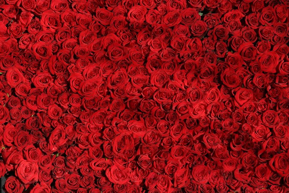 Rose, Roses, Flowers, Red, Valentine