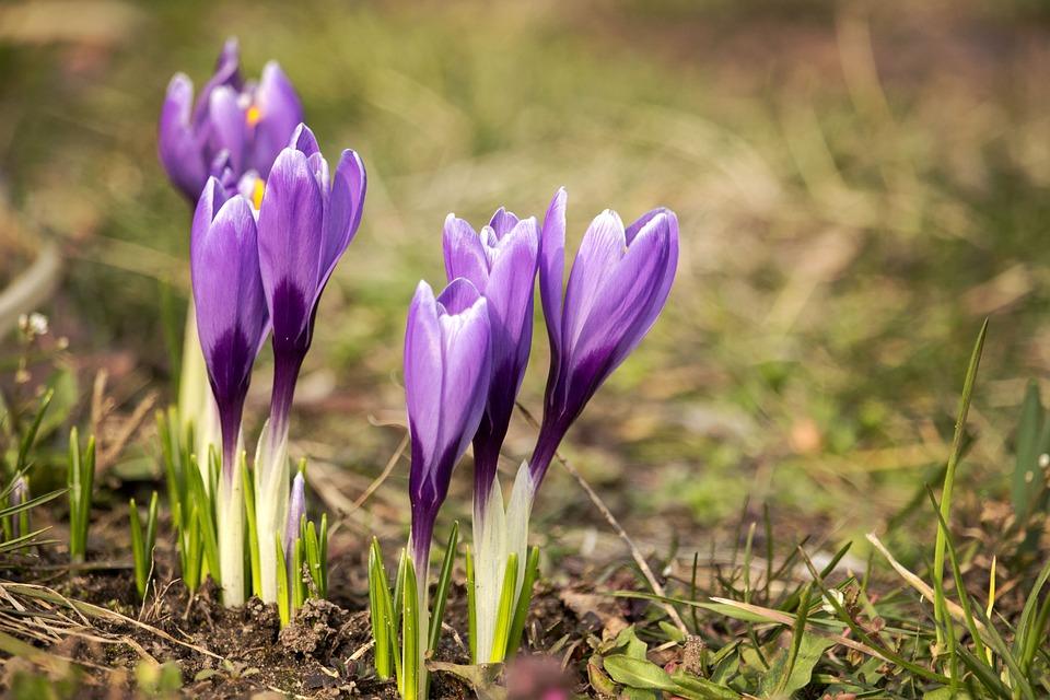 Crocus, Flowers, Plant, Violet Flowers, Spring, Saffron