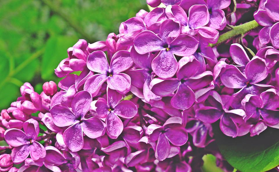 Lilac, Flowers, Spring, Nature, Garden, May, Violet
