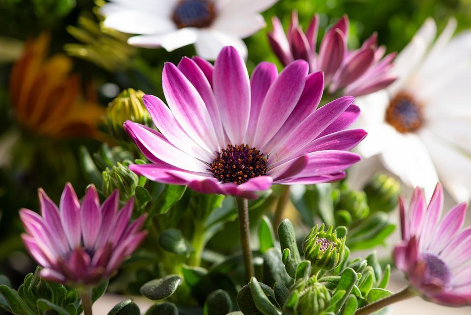 Cape Daisies, Flowers, Purple, Violet, White, Garden