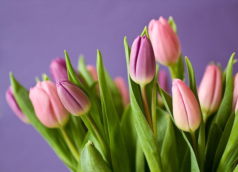 Tulips, Flowers, Tulip Bouquet, Violet, Pink, Nature