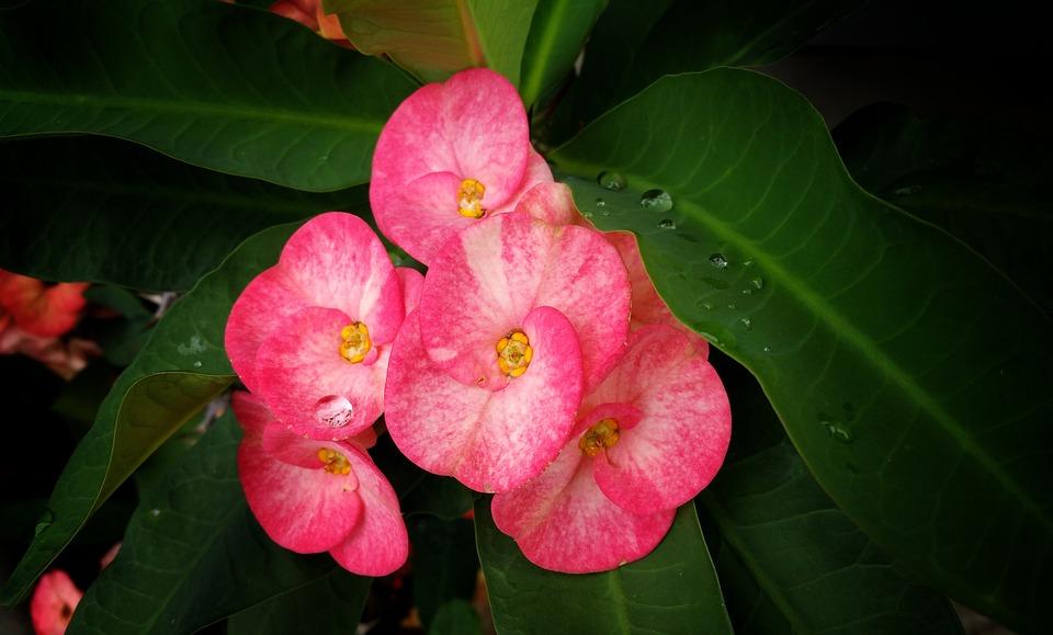 Flowers, Pink, Water Drops, Wet