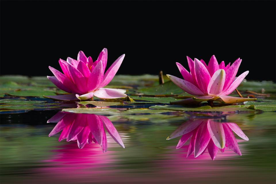 Water Lilies, Pink, Water, Lake, Flowers, Wet