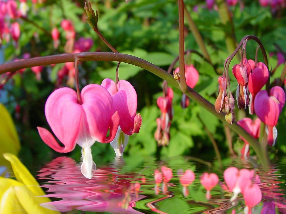 Bleeding Heart, Water Reflection, Flowers, Pink
