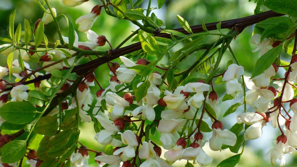 Acacia, Tree, White, Flowers